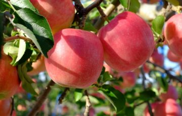 青森りんご
