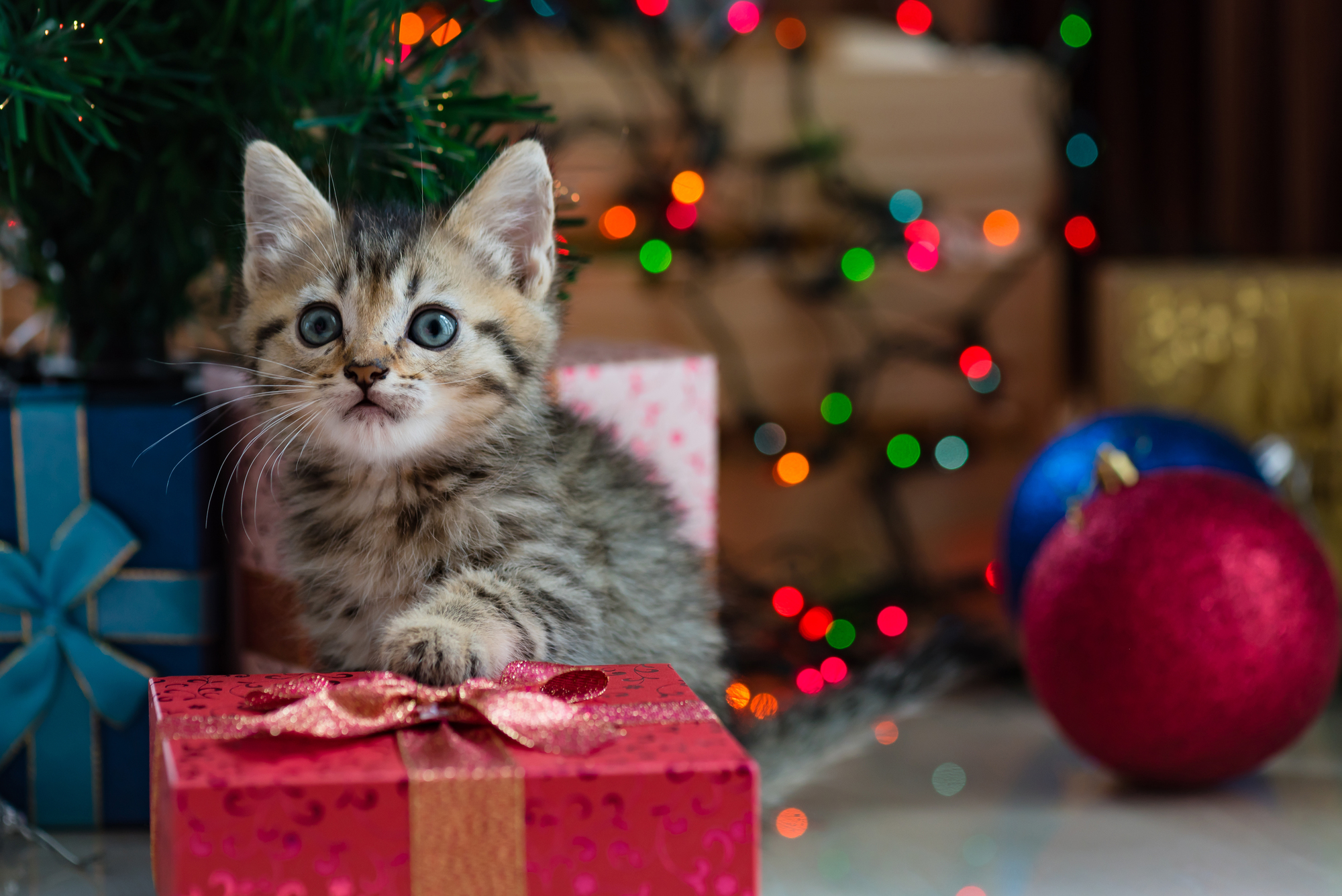 Cute kitten in christmas.