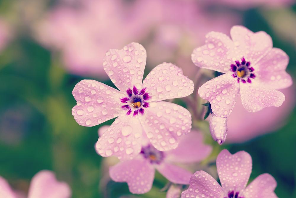 芝桜 お花 花