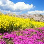 秩父市 芝桜 お花 花
