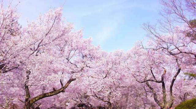 赤穂温泉 桜