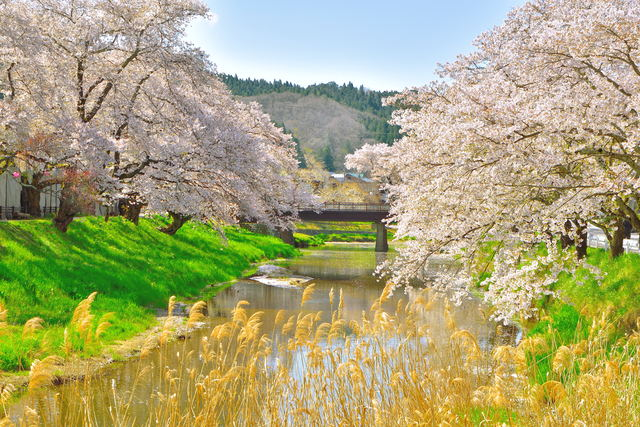 福島県 石川町 桜
