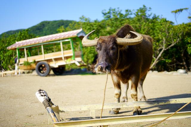 沖縄県 水牛