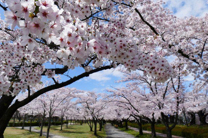 福島県 磐梯熱海温泉 桜