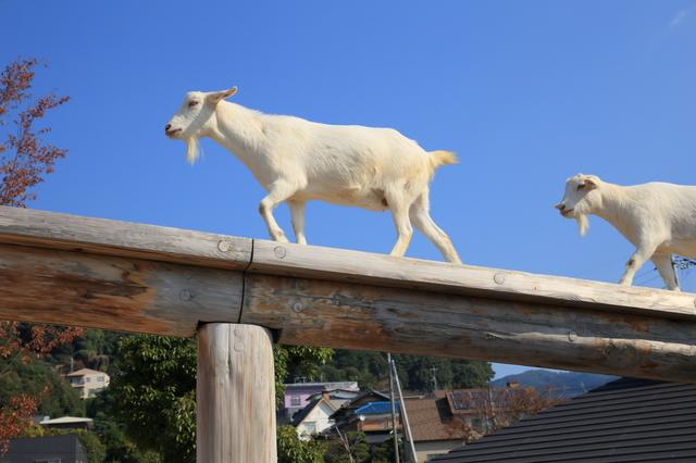 山口県周南市 徳山動物園 るんちゃ♪るんちゃ ヤギ