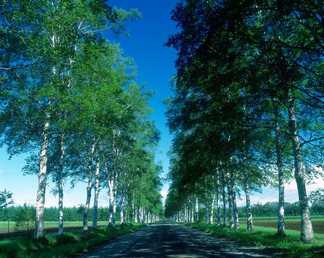 並木道 白樺の木